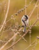 Lång-tailed mes som ser upp Royaltyfri Bild