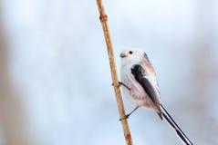 Lång-tailed messtående Arkivbild