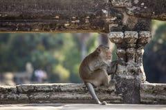 Lång-tailed sammanträde för Macaqueapan på forntida fördärvar av Angkor Wa Arkivbild