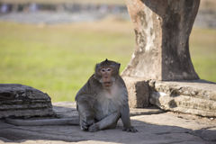 Lång-tailed sammanträde för Macaqueapan på forntida fördärvar av Angkor Wa Royaltyfri Fotografi