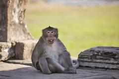 Lång-tailed sammanträde för Macaqueapan på forntida fördärvar av Angkor Wa Arkivfoto