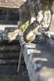 Lång-tailed sammanträde för Macaqueapan på forntida fördärvar av Angkor Wa Fotografering för Bildbyråer