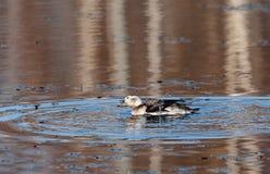 Lång-tailed and som har ett bad Royaltyfria Foton