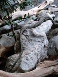 Lång-tailed tjänstgörande krokodilbildskärm Arkivbild