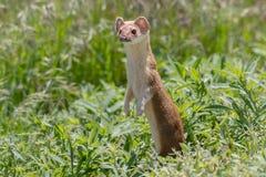 Lång Tailed vessla i eftermiddagljus Fotografering för Bildbyråer