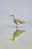Lång-toed snålhetfågel fotografering för bildbyråer
