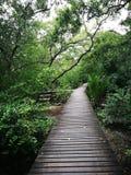 Lång wood bro i mangroveskog Royaltyfri Fotografi