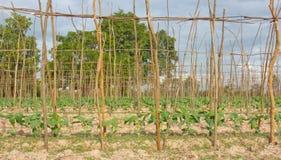 Långa bönor för gård Royaltyfri Foto