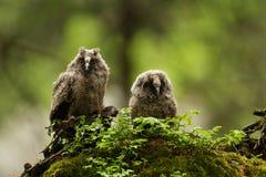 Långa gå i ax Owls fotografering för bildbyråer
