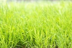 Långa grässtrån Arkivfoto