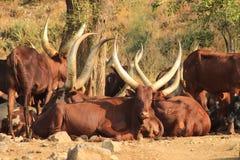 Långa horned kor i Uganda royaltyfria bilder