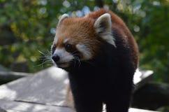 Långa morrhår på en Lesser Panda Fotografering för Bildbyråer