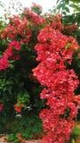 Långa röda blommor Royaltyfri Bild