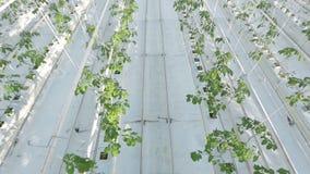 Långa rader av gröna växter i en enorm burk arkivfilmer