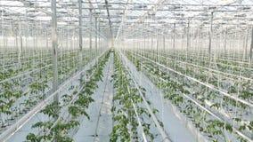 Långa rader av gröna växter i en enorm burk Kameran skjuter uppifrån stock video