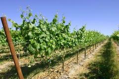 långa rader för druvor Arkivfoton