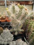 Långa ryggar för kaktus royaltyfri bild