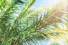 Långa spetsiga fjäderlika filialer av palmträd på ljus bakgrund för blå himmel Guld- rosa Peachy pastellfärgat solljus tropisk lö arkivbilder
