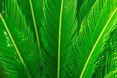 Långa spetsiga palmträdsidor i den härliga geometriska modellen som är botanisk, lövverk, tropisk bakgrund Royaltyfria Bilder
