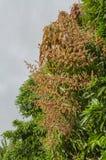 Långa stammar av mangoblomningar royaltyfri bild