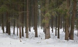 Långa stammar av träd i snön Arkivbilder