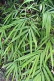Långa tunna sidor av grön bambu Arkivbilder