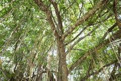 Långa vinrankor på ett träd Royaltyfri Bild