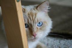 Långhårig beige katt med blåa ögon arkivfoton