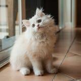 Långhåriga vita Kitten Looking Up Arkivbild