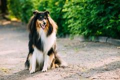 Långhårigt engelska Collie Lassie Adult Dog för Tricolor skottebuse royaltyfri bild