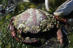 Långhals täckt krabba Shell Arkivfoto