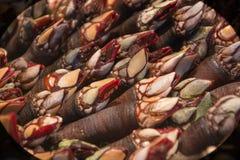 Långhalsar foto av skaldjuret som är cirripede av familjen Pollicipedidae, taget i makro i marknaden som är till salu i Spanien arkivbild