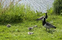 Långhalsgäss med fågelungar Arkivfoto