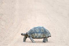 Långsam rörande sköldpadda som går över spår i Sydafrika Royaltyfri Fotografi