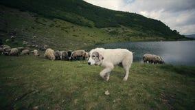 långsam rörelse Skälla av den gulliga alpina hunden som bevakar flocken av får lager videofilmer