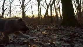långsam rörelse Valpen kör till kameran arkivfilmer