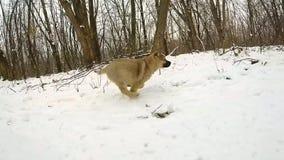 långsam rörelse Valpen kör till kameran Djupfryst skog stock video