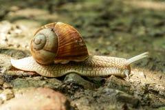 långsam snail Arkivbilder