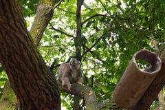 Långsamma Loris som spelar på ett träd Fotografering för Bildbyråer