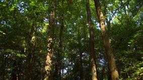 Långsamt gå i skogen arkivfilmer