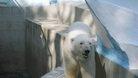 LÅNGSAMT: Isbjörn som går i hans aviarium lager videofilmer