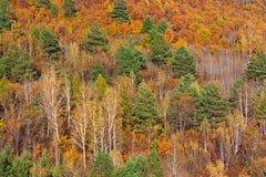 Långt - östlig skog i höst, ljusa gula röda och gröna färger Royaltyfria Bilder