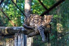 Långt - östlig skogkatt på zoo arkivbild
