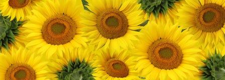 Långt baner med solrosor vektor för detaljerad teckning för bakgrund blom- Royaltyfri Bild