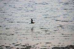 Långt fakturerade Curlewll som söker på tången för Bai för flodmunnen arkivbild