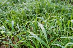 Långt gräs med silverdaggsmå droppar Arkivfoto