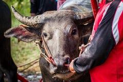 Långt horn för buffel Royaltyfri Foto
