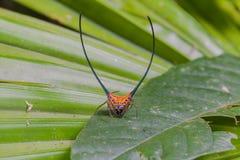 långt horn för härlig spindel på bladet Royaltyfri Fotografi