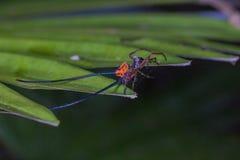 långt horn för härlig spindel på bladet Royaltyfri Foto