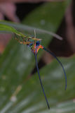långt horn för härlig spindel på bladet Arkivbild